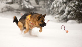 Rettungshund an der Bergwacht Stockfoto