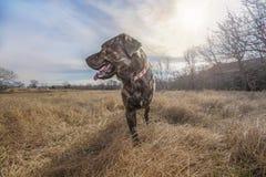 Rettungshund Hobbs auf einer Texas-Ranch stockbilder