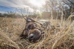 Rettungshund Hobbs auf einer Texas-Ranch lizenzfreie stockfotografie