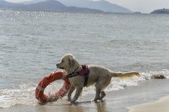 Rettungshund mit Rettungsgürtel Stockfotos