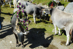 Return of the cattle in Alto Adige Stock Photo