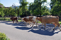 Return of the cows from the pasture. Cows returning from the pasture to their stable in the evening. Photo shot in Bavaria stock photos