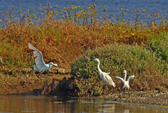 The return of dad white heron. White herons family on the bank of the river Royalty Free Stock Photos