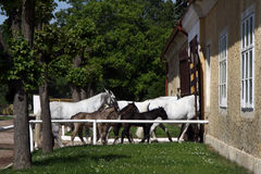 Return to stable white horses Royalty Free Stock Photos