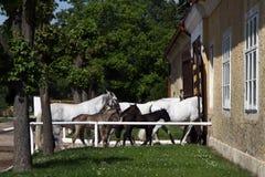 Return to stable white horses Royalty Free Stock Photos