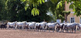 Return to stable white horses Stock Photos