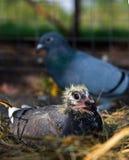 returnerande duva för fågelunge Royaltyfri Fotografi