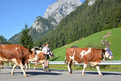 Returning cows. Berchtesgaden, Germany - August 27, 2016 - Cows returning from mountains after summer Royalty Free Stock Image