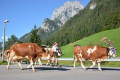 Returning cows Stock Photos