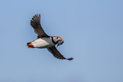 Returning Puffin Royalty Free Stock Image