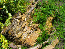 Returning to the natural cycle. Image of a tree in the middle of its decomposition process and on it can be seen how some plants have already begun to feed on it Stock Photos