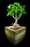 Retusa de Ficus photos stock