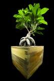 Retusa de Ficus Image stock