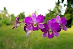 Retusa de Rhynchostylis, orchidée Image stock