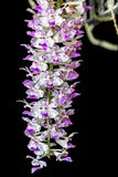 Retusa Orchid-1 immagine stock libera da diritti