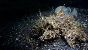 Retusa van de krabcamposcia van de Retusadecorateur camoufleerde professioneel krab, kan het gewoonlijk zijn slechts wordt erkend stock videobeelden