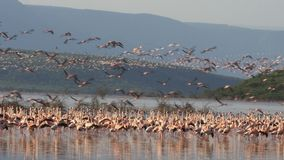 Reuna-se de poucos flamingos tomam o bogoria do lago do voo, kenya video estoque