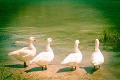 Reunião da bisbolhetice de quatro gansos Fotos de Stock Royalty Free