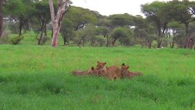 Reunión africana del orgullo del león almacen de video