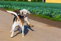 Reunión de dos perros durante un paseo imágenes de archivo libres de regalías