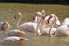 Reunión de flamencos rosados Imagenes de archivo