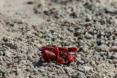 Reunión de insectos rojos Fotografía de archivo