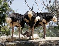 Reunión de la avestruz Imágenes de archivo libres de regalías