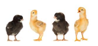 Reunión de pollos fotos de archivo libres de regalías