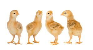 Reunión de pollos amarillos imagen de archivo libre de regalías