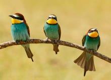 Reunión de tres pájaros en una rama Fotografía de archivo libre de regalías