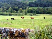 Reunión del ganado foto de archivo libre de regalías