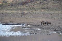 Reunión del hipopótamo y del rinoceronte Foto de archivo