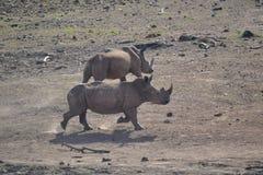 Reunión del hipopótamo y del rinoceronte Fotos de archivo libres de regalías