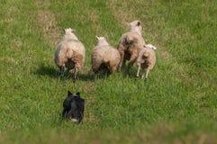 Reunión del perro detrás del aries alineado del Ovis de las ovejas Foto de archivo