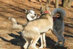 Reunión enojada de dos perros esquimales Imagen de archivo