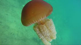 Reunión mágica de un buceador con una medusa debajo del agua almacen de metraje de vídeo