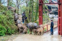 Reunindo búfalos de água em Vietname Fotografia de Stock