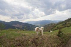 Reunindo cães em um pasto nas montanhas Fotos de Stock Royalty Free