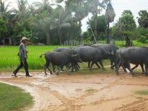 Reunindo o buffelo da água Imagem de Stock Royalty Free
