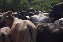 Reunindo o gado marcado em Nicarágua imagem de stock royalty free