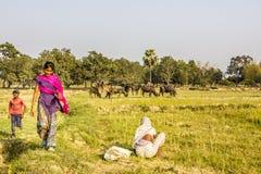 Reunindo os búfalos de água Imagem de Stock Royalty Free