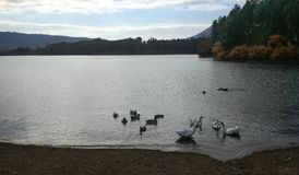 REUNION DE OCAS Y PATOS - MEETING OF GEESE AND DUCKS royalty free stock image