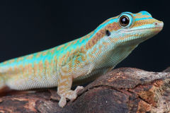 Reunion island day gecko Royalty Free Stock Image