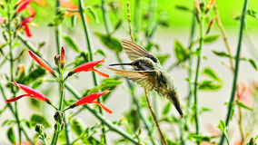 Reunited. Hummingbird reunited with the favorite flowers Royalty Free Stock Image