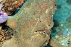 Reus frogfish Stock Foto