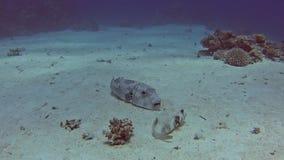 Reus pufferfish in tropische overzees op koraalrif stock footage