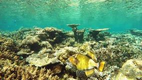 Reus triggerfish Balistoides Viridescens die op de ertsaders van de archipel van de Maldiven duiken stock video