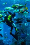 Reusachtig aquarium in Doubai. Duiker voedende vissen. Stock Foto's