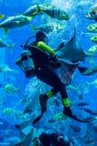 Reusachtig aquarium in Doubai. Duiker voedende vissen. Royalty-vrije Stock Afbeelding