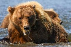Reusachtig Bruin Alaska draagt Moeder en Welp stock afbeelding